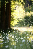 stokrotki łąkowe Zdjęcia Stock