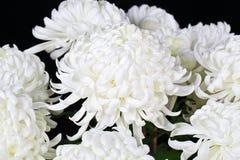 stokrotki biały Zdjęcie Royalty Free