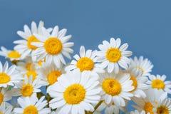 Stokrotki chamomile kwiatów rama na błękita ogródu stole Odgórny widok z kopii przestrzenią Zdjęcia Stock