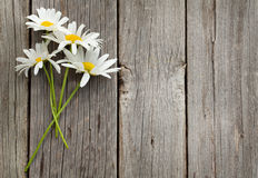 Stokrotki chamomile kwiaty Obraz Royalty Free