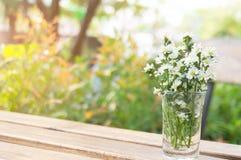 Stokrotki chamomile kwitnie w wazie na stary drewnianym Fotografia Royalty Free
