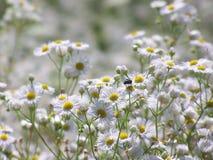 Stokrotki fleabane kwitnie z komarnic? na pogodnej ??ce obraz stock
