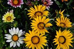 Stokrotki flowerbed Zdjęcia Royalty Free