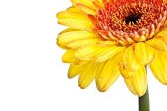 stokrotki gerber kolor żółty Fotografia Stock