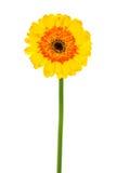 stokrotki gerbera kolor żółty Fotografia Royalty Free