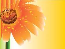 Stokrotki gerbera kwiat Obrazy Royalty Free