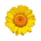 stokrotki kolor żółty Zdjęcia Royalty Free