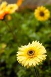 stokrotki kolor żółty Fotografia Royalty Free