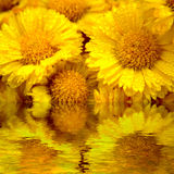 stokrotki kolor żółty Obraz Royalty Free