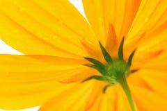 stokrotki kolor żółty Obrazy Royalty Free