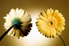 stokrotki kolor żółty dwa Zdjęcia Royalty Free