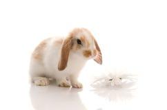 stokrotki królika krótkopędu pracowniany biel Zdjęcie Stock