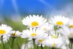stokrotki kwiatów grupa Zdjęcia Stock
