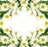 stokrotki kwiatów rama Obrazy Royalty Free