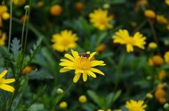 Stokrotki kwiat i pszczoła zdjęcie stock