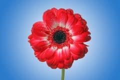stokrotki kwiatu czerwień Zdjęcia Stock