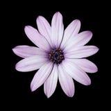stokrotki kwiatu głowy światła osteospermum purpury Zdjęcie Royalty Free