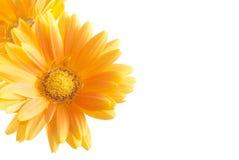 stokrotki kwiatu gerbera Zdjęcia Stock