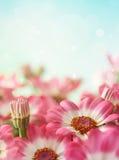 stokrotki kwiatu lato Zdjęcie Royalty Free