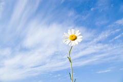stokrotki kwiatu niebo obraz stock
