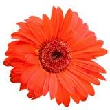 stokrotki kwiatu odosobniony czerwony biel Zdjęcia Royalty Free