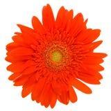 stokrotki kwiatu odosobniony czerwony biel Obraz Royalty Free