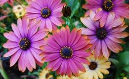 stokrotki kwiatu purpury Zdjęcie Royalty Free