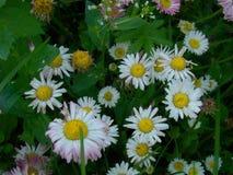 Stokrotki kwitną w trawie Zdjęcie Stock