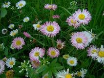 Stokrotki kwitną w trawie Obrazy Stock