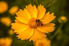 Stokrotki medow Fotografia Stock