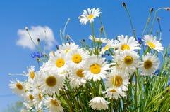Stokrotki na niebieskiego nieba tle Zdjęcia Royalty Free
