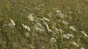 Stokrotki Odpowiadają trawa wiatr zdjęcie wideo