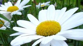 Stokrotki okwitnięcia zakończenie Naturalny wideo z łąka kwiatów szczegółem Sharping, zbliża, wyszczególniał stamen i pistil bota zbiory wideo