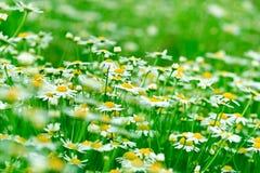 Stokrotki pole - chamomile Fotografia Royalty Free