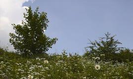Stokrotki pole przeciw niebieskiemu niebu z przestrzenią dobro dla teksta zdjęcie stock