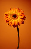 stokrotki pomarańcze zdjęcie royalty free