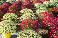 Stokrotki rośliny pepiniera Obraz Stock