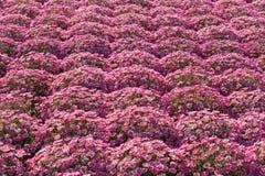 Stokrotki rośliny pepiniera Zdjęcia Stock