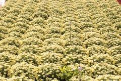 Stokrotki rośliny pepiniera Obrazy Stock