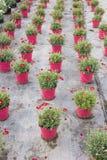 Stokrotki rośliny pepiniera Zdjęcie Royalty Free
