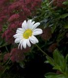 Stokrotki rosy krople Zdjęcie Royalty Free