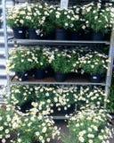 Stokrotki w flowerpots Fotografia Stock