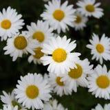 Stokrotki w kwiacie Obrazy Stock