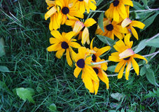 Stokrotki w ogródzie zdjęcie stock