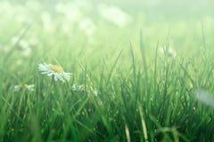 Stokrotki w trawie Zdjęcia Royalty Free