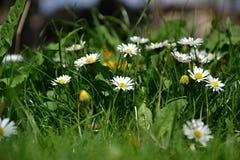 Stokrotki w trawie Fotografia Stock