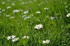 Stokrotki w trawie Fotografia Royalty Free