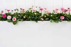 Stokrotki wiosny różowy czas kwitnie na białym drewnianym tle dla de obrazy stock