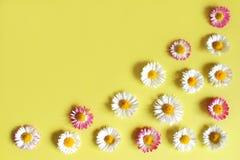 Stokrotki z białymi płatkami na kolorze żółtym Obrazy Royalty Free