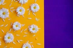 Stokrotki z płatkami na pomarańczowym i purpurowym tle zdjęcia royalty free